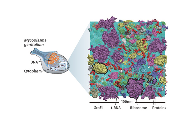 Computer simulation of an atomistic model of the bacteria cytoplasm