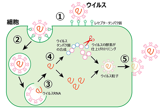 画像:コロナウイルスの増殖メカニズム 概念図